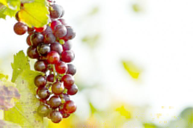食べるのは好きでもほとんど知らないおいしい葡萄の歴史